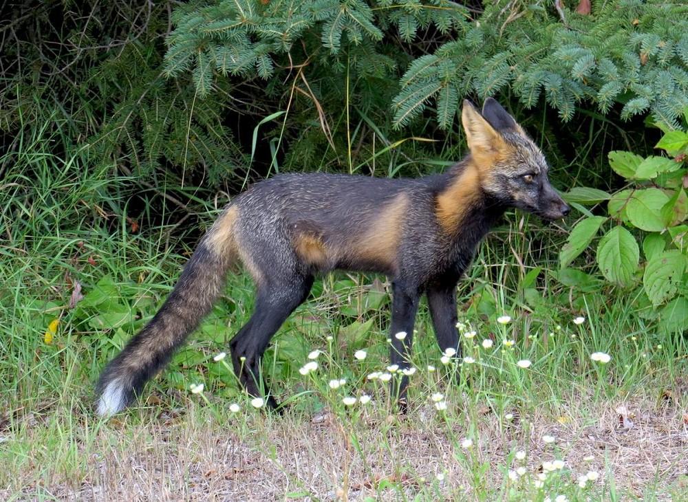 white-lake-fox